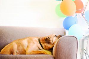 cane che dorme su divano con palloncini