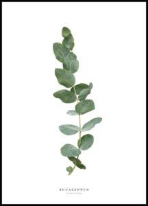 Poster eucalipto