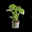 monstera deliciosa pianta con vaso